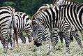 Equus quagga boehmi 5zz.jpg