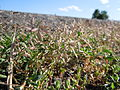 Eragrostis minor (6123801075).jpg