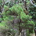 Erica azorica-IMG 8717.JPG
