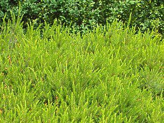 Erica carnea - Cultivar series Springwood