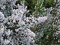 Erica scabriuscula Loddiges 1821 Kirstenbosch (2).jpg