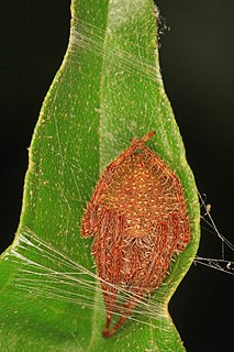 <i>Eriophora ravilla</i> species of arachnid