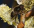 Eristalis pertinax (male) - Flickr - S. Rae (4).jpg