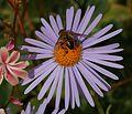 Eristalis tenax (male) - Drone Fly - Flickr - S. Rae (3).jpg