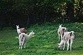 Erlenbach Bergtierpark Gruppe Lama.JPG