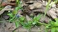Eryngium prostratum.jpg