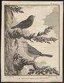 Estrilda astrild - 1700-1880 - Print - Iconographia Zoologica - Special Collections University of Amsterdam - UBA01 IZ15900001.tif