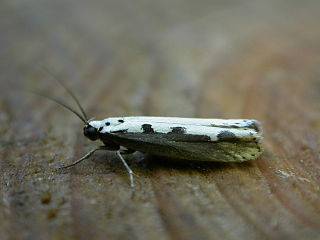 <i>Ethmia</i> genus of insects