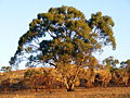 Eucalypt in sunset after grassfire - Anstey Hill.jpg