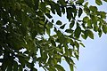 Eucalyptus deglupta 7zz.jpg