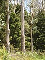 Eucalyptus globulus maidenii Labill. (AM AK294687-2).jpg