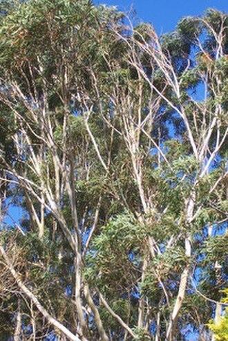 Eucalyptus pilularis - Image: Eucalyptus pilularis Chatswood