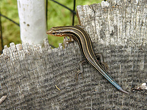 Eumeces fasciatus (Five-lined Skink) that has ...
