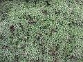 Euphorbia acanthothamnos.jpg
