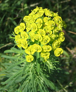 Description de l'image  Euphorbia cyparissias 02 bgiu.jpg.