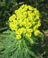 Euphorbia cyparissias 02 bgiu.jpg