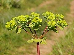 Euphorbia helioscopia flowers.jpg