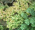 Euphorbia myrsinites 16 ies.jpg