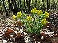 Euphorbia polychroma sl39.jpg
