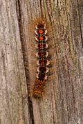 Euproctis chrysorrhoea - Burgenland 3.jpg