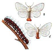 Euproctis chrysorrhoea Meyers.jpg