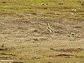 Eurasian Skylark (Alauda arvensis) (32291224570).jpg