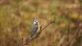 Eurasian blue tit (snapshot).PNG