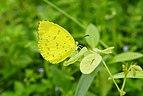 Eurema blanda7243.jpg