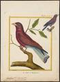 Eurystomus glaucurus - 1700-1880 - Print - Iconographia Zoologica - Special Collections University of Amsterdam - UBA01 IZ16700257.tif