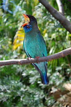 Eurystomus orientalis -Miami Metrozoo, USA -singing-8a.jpg