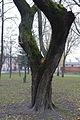 Exotic trees of hluchiv university SAM 0021 59-103-5003.JPG