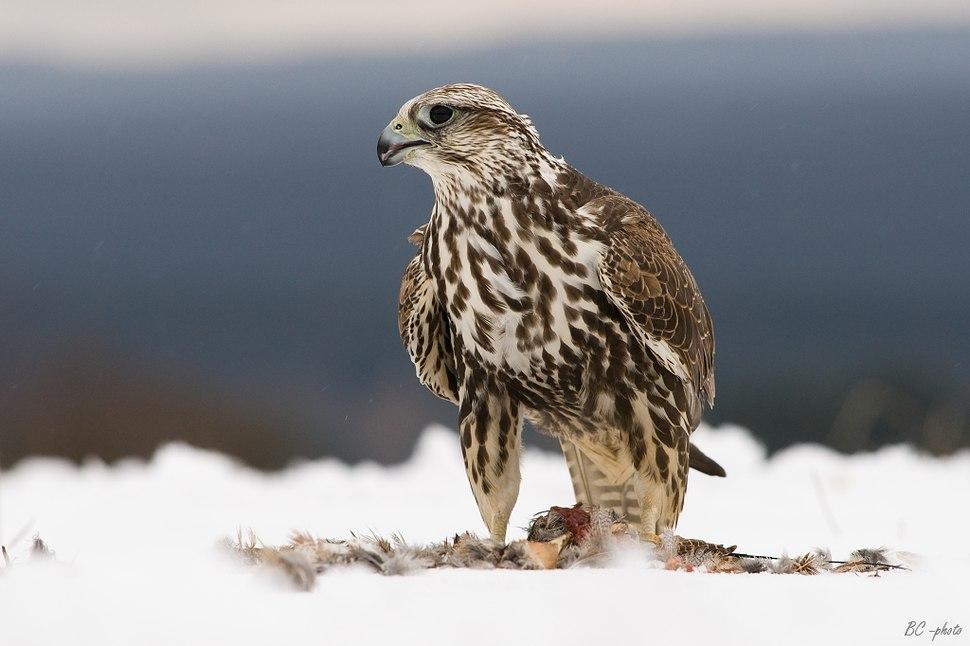 Falco cherrug 1 (Bohuš Číčel)