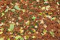 Fallen leaves @ Jardin Pierre-Adrien Dalpayrat @ Paris (31018830951).jpg