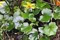 Farfugium japonicum var. formosanum 04.jpg