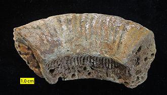 Zombie taxon - Jurassic ammonite internal mold redeposited (and bored) in a Cretaceous sediment, thus a zombie taxon or remanié; Faringdon Sponge Gravel, England.