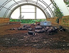 Farm Pigs Feeding In A Traditional Hoop House Building Without Any Concrete Flooring