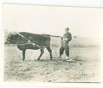Ox in Chinese mythology - Farmer harrowing a crop near Xi'an, China, c. 1908