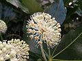 Fatsia japonica1.jpg