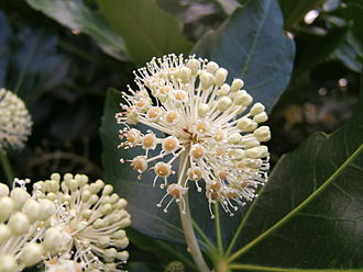 Umbel - Image: Fatsia japonica 1
