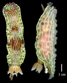 <i>Felimare bayeri</i> species of mollusc