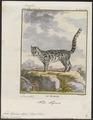Felis tigrina - 1700-1880 - Print - Iconographia Zoologica - Special Collections University of Amsterdam - UBA01 IZ22100236.tif