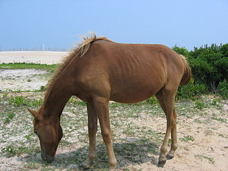 There is debate over whether the feral Chincoteague ponies of Assateague Island are horses or ponies Feralpony.jpg
