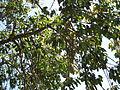 Ficus Geniculata V. Abnormalis5.JPG