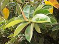 Ficus elastica leaves 01.JPG