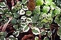 Ficus pumila Variegata 3zz.jpg