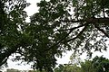 Ficus racemosa 5zz.jpg