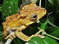 File-eared Tree Frog (Polypedates otilophus) (6760654081).jpg