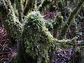 Films, ferns and lichens cover everything under the canopy in the bush near the summit.JPG