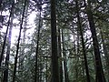 Firs in Cathedral Grove Cameron Lake side in December.JPG