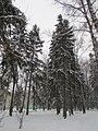 Firtrees on the outer wood near the school №4. January 2014. - Ёлки на опушке леса, рядом со школой №4. Январь 2014. - panoramio.jpg